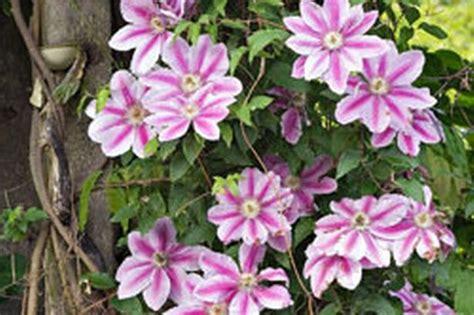 climbing plants uk clematis britain s no 1 climbing plant mirror