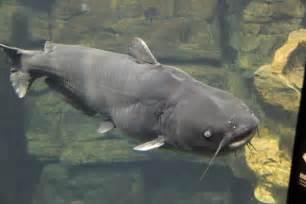 File:Blue catfish tenn aquarium   Wikipedia, the free encyclopedia
