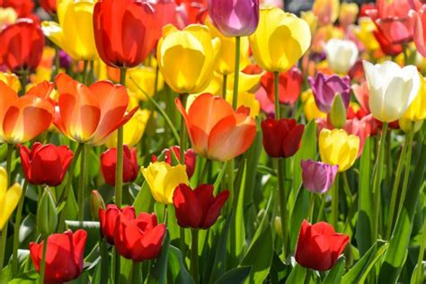 fiori tulipani come piantare e conservare i bubli di tulipano consigli