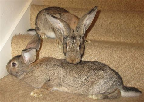 Continental x Flemish Giant Female Rabbits   Lampeter