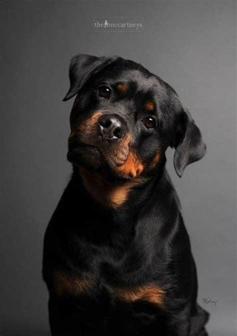 best therapy dog breeds dog breeds top 10 most expensive dog breeds expensive dogs therapy