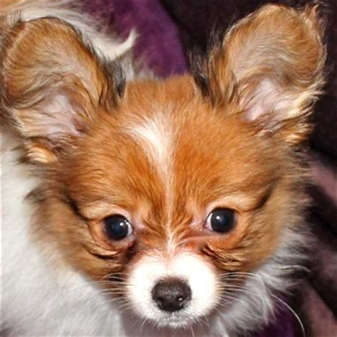 pugs for sale in wilmington nc papillon puppies for sale breed tips dogs and puppie breeds picture