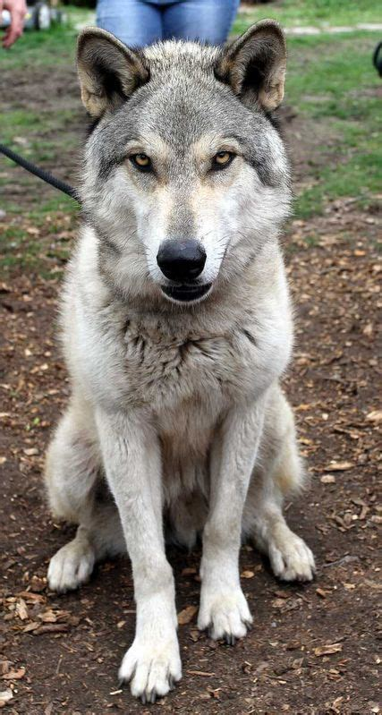 wolf hybrid puppies adoption wolf i d like to rescue but i m not sure how xena will react