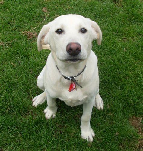 5 month puppy behavior labrador retriever 6 months weight 1001doggy