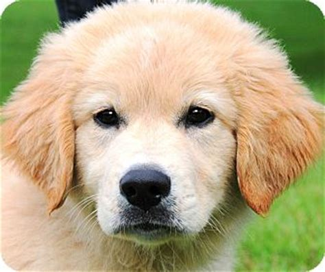 golden retriever pyrenees mix for sale american bulldog great pyrenees mix puppies breeds picture