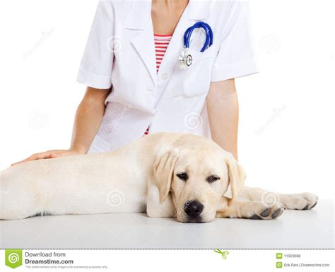 taking care of a puppy veterinay taking care of a royalty free stock photos image 11903688
