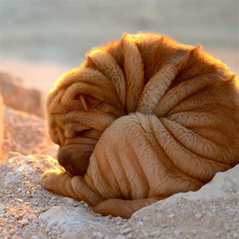 shar pei puppies babies available 1000 ideas about shar pei on shar pei puppies bulldog puppies and baby