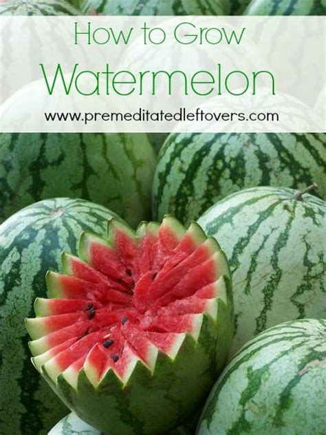 How To Plant Watermelon In A Garden by How To Grow Watermelon