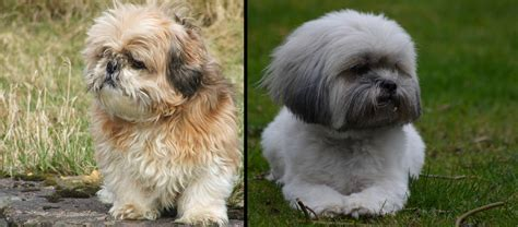 difference between shih tzu and lhasa apso what is the difference between a lhasa apso and a shih tzu lhasalife