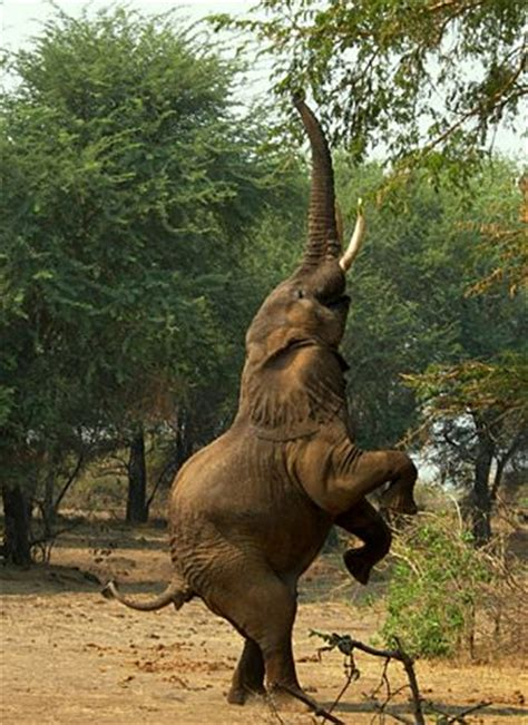 Elephant Standing On Hind Legs by Pinterest The World S Catalog Of Ideas