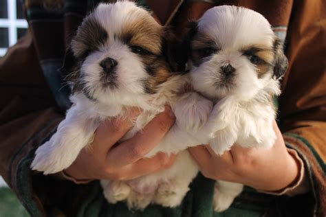 shih tzu original breed free images vertebrate breed lhasa apso shih tzu