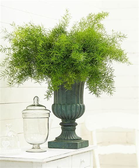 buy house plants  sprengers asparagus fern bakkercom