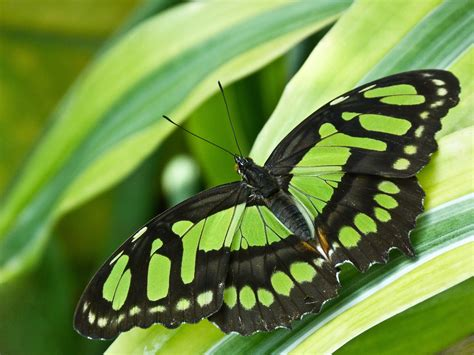 green butterfly wallpaper funny animal butterfly 4k ultra hd wallpaper and background 4320x3240