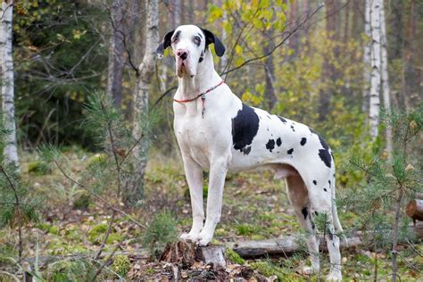 best food for great danes top 5 best foods for great danes 2017 buyer s guide mysweetpuppy net