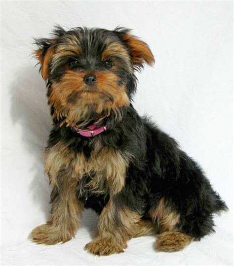 how does a teacup yorkie live pictures breeds are poodle and yorkies breeds picture