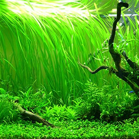 Aquarium Plants 3 3 vallisneria italian bunches beginner tropical live
