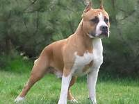 Terrier Breed Guide Learn About The American Staffordshire