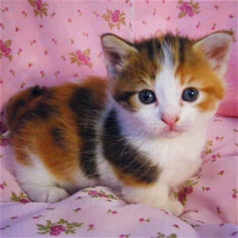Mainan Kucing Mainan Hewan Peliharaan gambar gambar kucing lucu imut terbaru 3 warna foto di rebanas rebanas