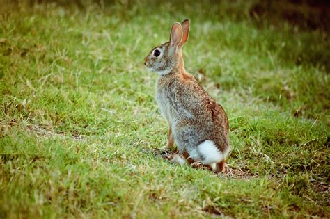 backyard rabbit animals caught in the wild