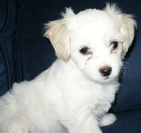chihuahua yorkie poodle mix 37 best images about puppies on chihuahuas poodles and yorkie