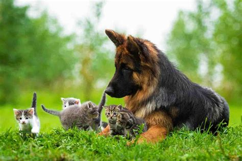 how many puppies can a german shepherd german shepherd puppies android apps on play