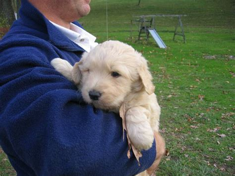 goldendoodle puppy week by week labradoodle doodlephotos