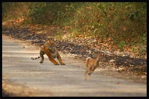 deer attacks tiger attack deer