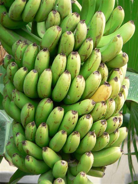 The Bananas banana trivia bananas a curious way of capturing