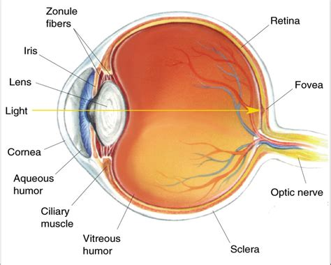 cross section of the human eye i have marfan s syndrome too and have googly eyes for eyes