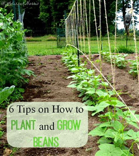 6 tips on how to plant and grow beans traditional cooking school by gnowfglins