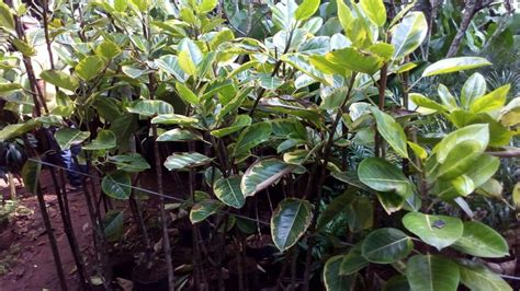 Tanaman Hias Karet Hias 34 best warung tanaman tukang taman images on