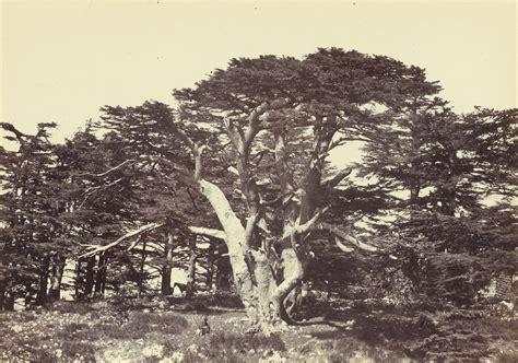 filefrancis frith english  largest   cedars
