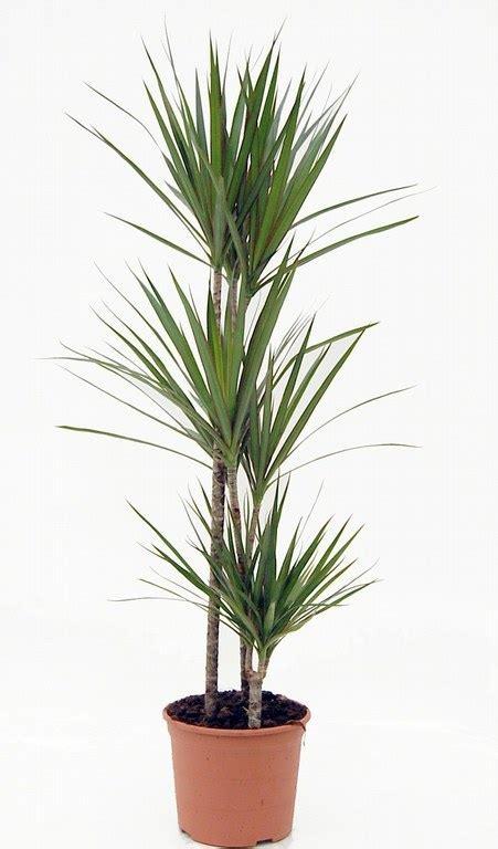 plantas altas de interior dracaena marginata 3 registros garden center jardinitis