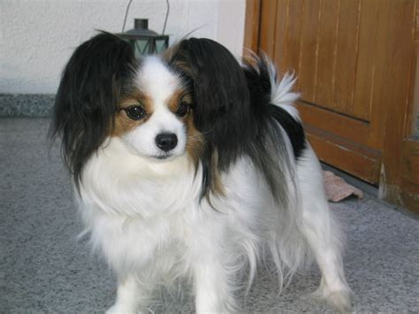 papillon breed information puppies pictures