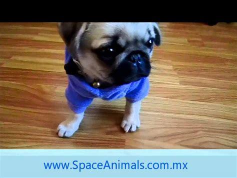 perros pug en venta venta de cachorros perros de raza pug cachorros hermosos cachorros pug en jalisco