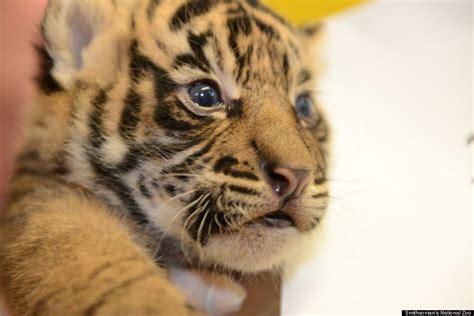 tiger colors national zoo s sumatran tiger cubs pass checkup with