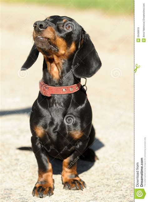 black and brown dogs black and brown royalty free stock images image 26498819