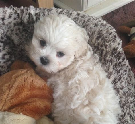 lhasa apso x shih tzu puppies for sale shih tzu x lhasa apso exeter pets4homes