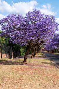 Lime Fruit Tree - buy jacaranda tree for sale in miami florida ft lauderdale