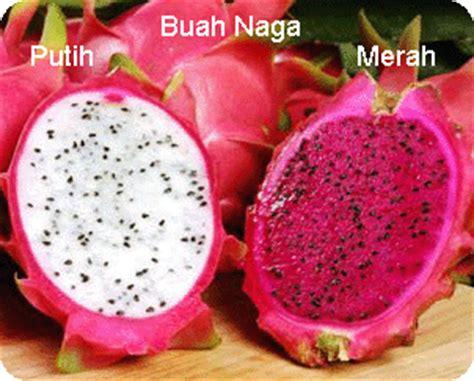 Sisik Naga B1 kandungan dan manfaat buah naga putih