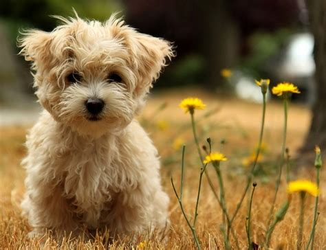 Types Of Small Dogs With Hair by Types Of Small Dogs With Hair Pet Photos