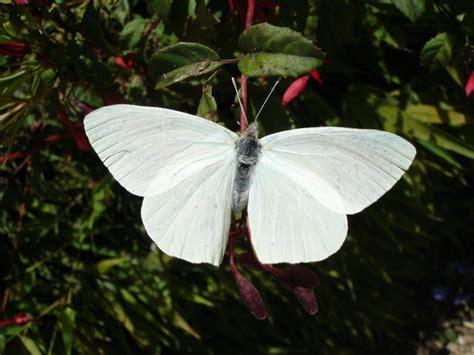 imagenes de mariposas blancas volando 209 uble naturaleza 187 mariposa blanca