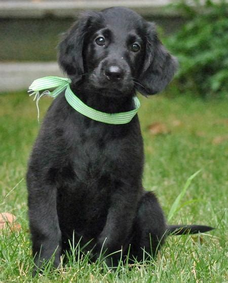 complete flat coated retriever the 0851154638 flat coated retriever adorable flat coated retriever dog and animal