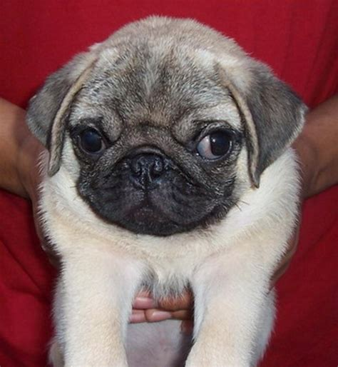 pug prices pug names quotes