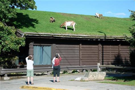 Goats On Roof Door County by Al Johnson S Swedish Pancakes Goats A Staple In Bay
