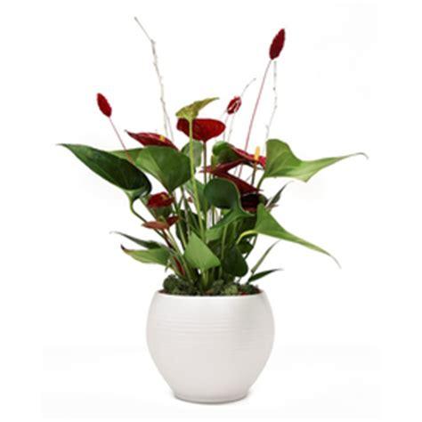 house plants to buy online top 28 house plants sale sale hawaiian umbrella tree 4 quot pots variegated