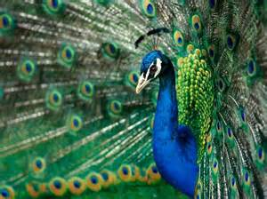 colors of a peacock true colors peacock wallpaper birds nature wallpaper