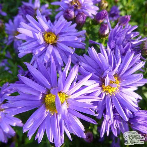 buy aster novi belgii lady  blue michaelmas daisy