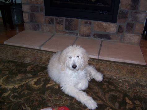 goldendoodle puppy washington state buttercup f1b goldendoodle from baby