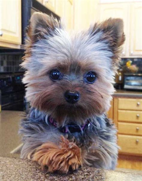 different cuts for silky terriors cute yorkie haircuts different yorkshire terrier